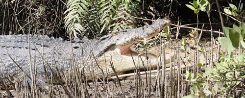 Alligator in Australia